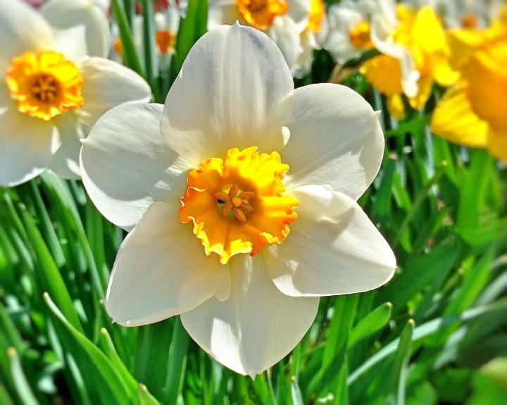 March birth flower, daffodil