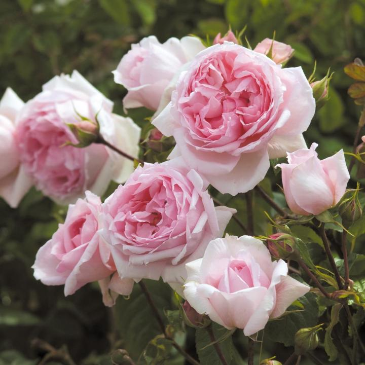 Richmond Rose Society - Best Roses for Richmond