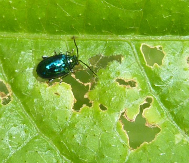 flea-beetle-identify-damage.jpg