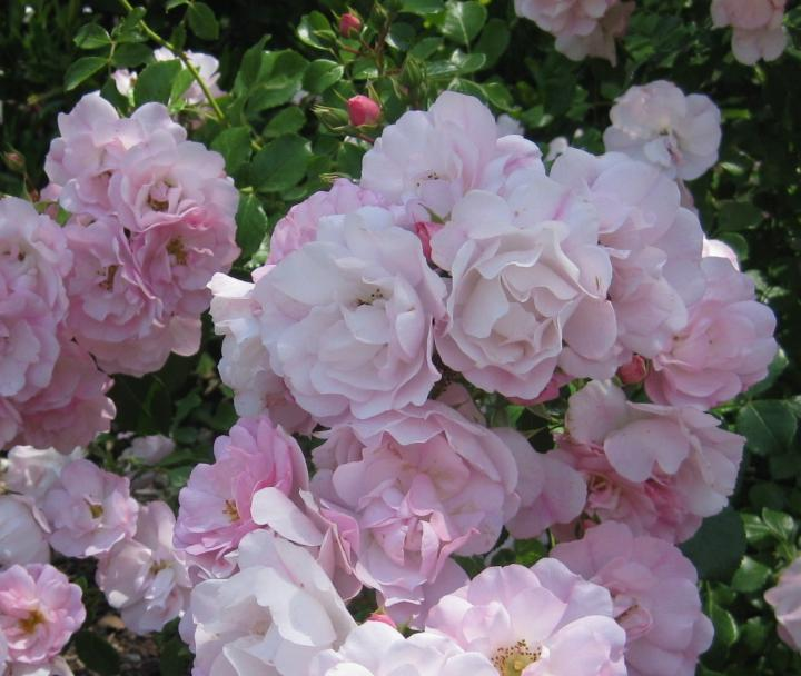 Best climbing roses for the gardener - The Washington Post