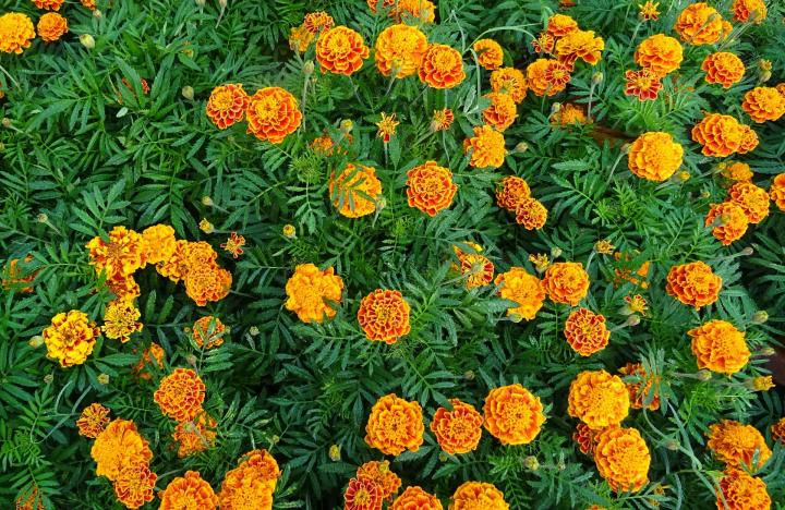 Marigolds How To Plant Grow And Care For Marigold Flowers The Old Farmer 39 S Almanac