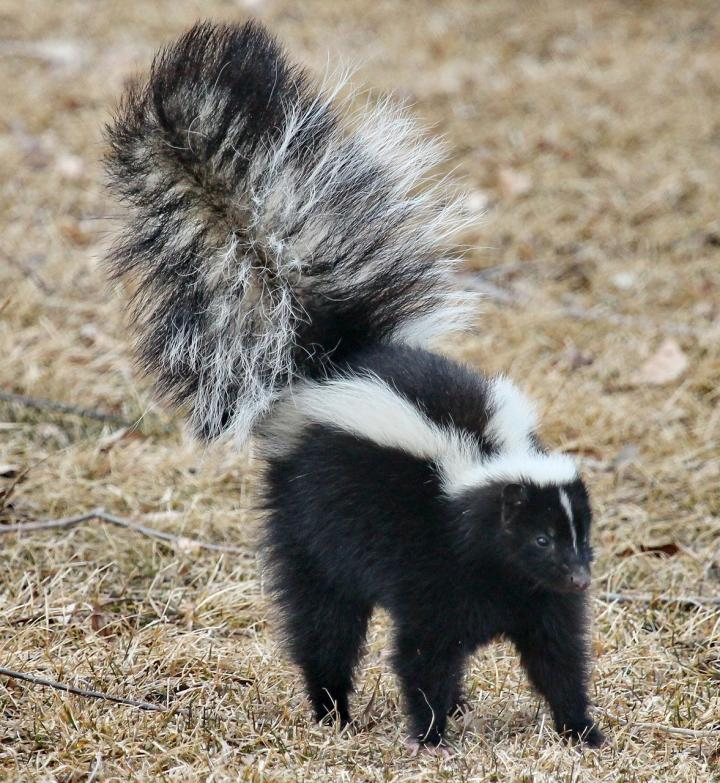 get-rid-of-striped-skunk_full_width.jpg