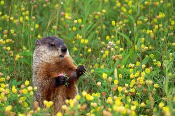 groundhog-flower_0.jpg