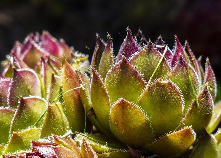 hens-and-chicks-easy-perennial.jpg