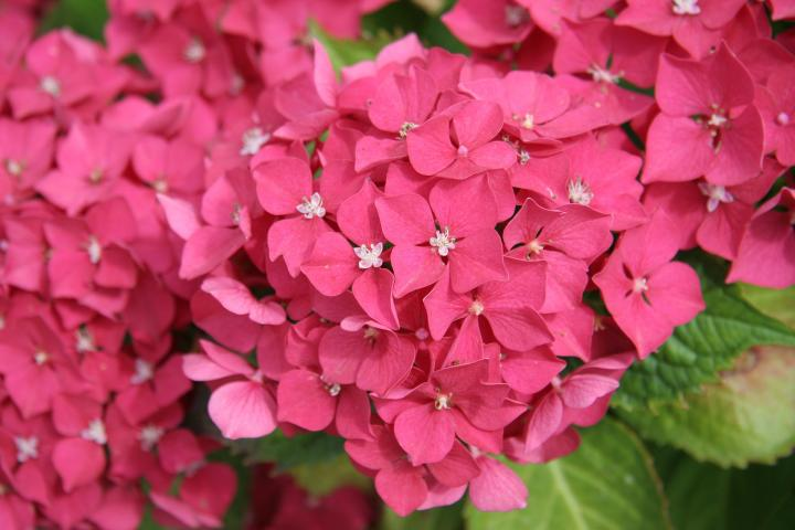 hydrangea how to plant, grow, and care for hydrangea shrubs  the, Beautiful flower