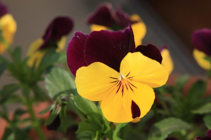 Growing Pansies: How to Plant, Grow, and Care for Pansy Flowers ...