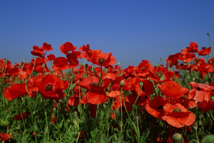 poppy-august-birth-flower_full_width.jpg