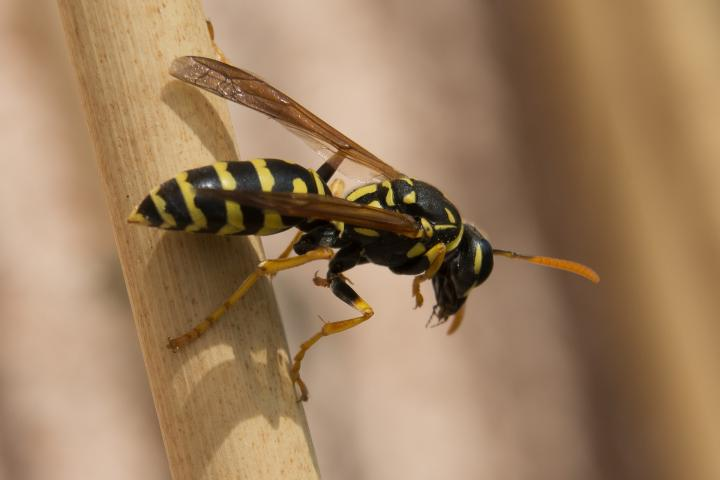 wasp-sting-treatment.jpg