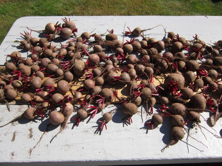 Storing Beets In The Root Cellar Using Wood Chips To Store Beets The Old Farmer 39 S Almanac
