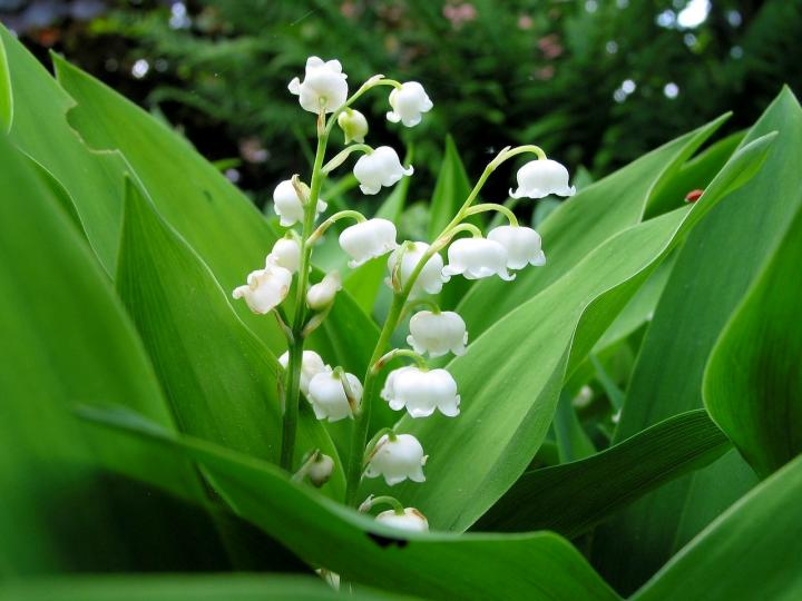 lily-of-the-valley-updated-1280x960px_pixabay_full_width.jpg