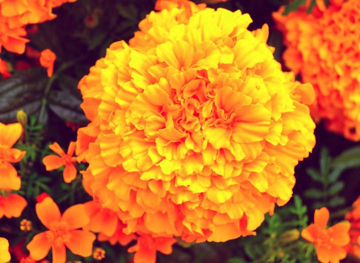 marigold-updated-october_birth_flower_1920x1280px_full_width.jpg