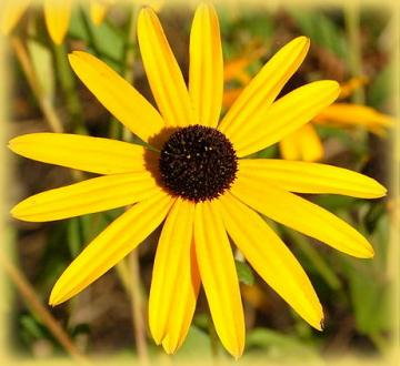 rudbeckia_godstrum-single-by_kintaiyo_via_wikimedia_commons_half_width.jpg