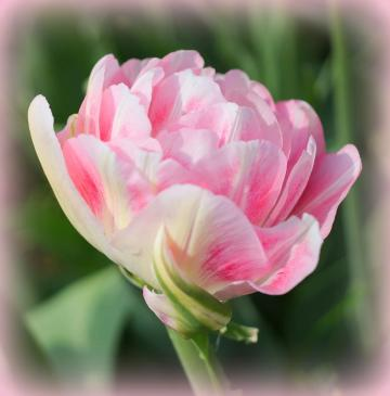 tulip_foxtrot_-_by_retired_electrician_-_wikimedia_commons_white-pink_double_late_tulip_2015_01_half_width.jpg