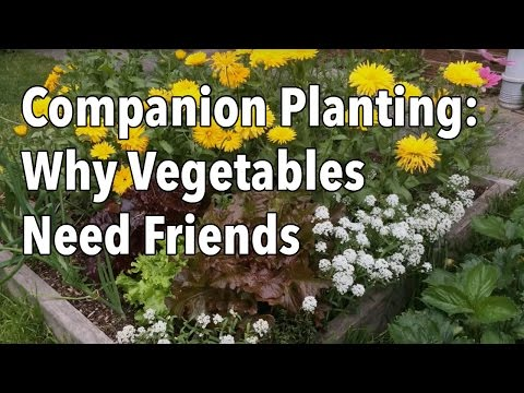 Companion Planting Flowers With Vegetables Video Old